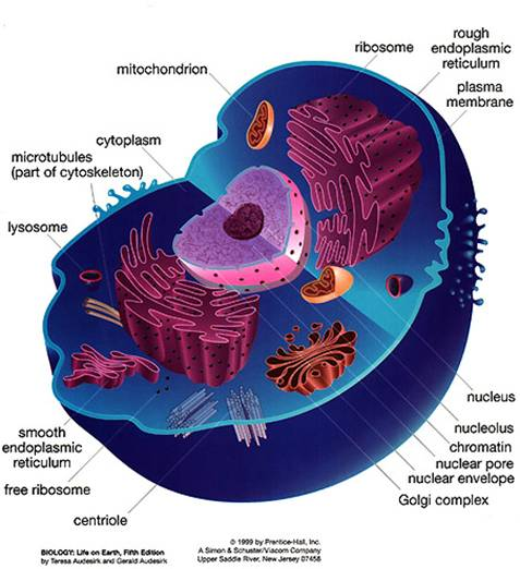 Cellular biology notes 131 draw a diagram to show the ultrastructure of a generalized animal cell as seen in electron micrographs ccuart Image collections