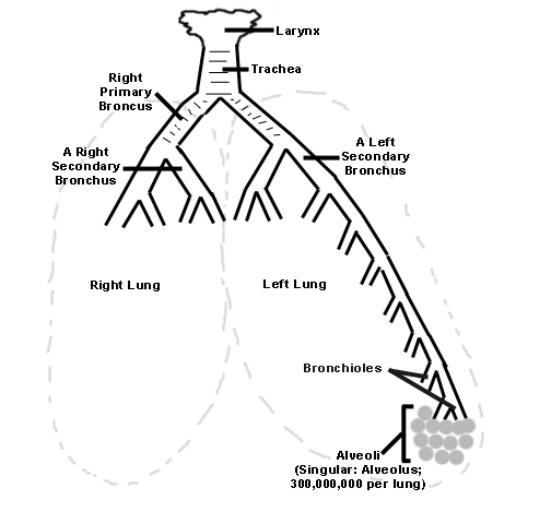 hl biology Spinal Cavity Diagram thoracic cavity